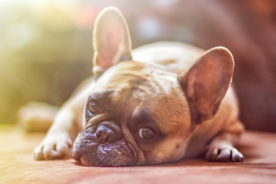 A photo of a french bull dog laying down.